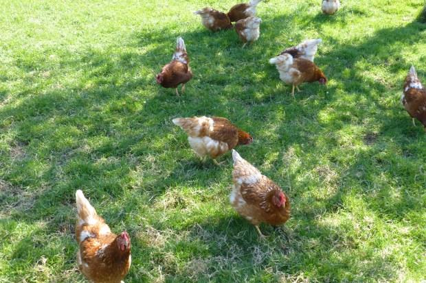 Hühner 003.JPG